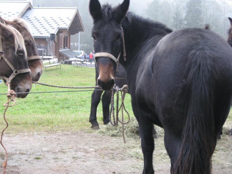 Contamines-Montjoie 2010 - Rencontre des muletiers... et de leurs mules - Page 2 Img_0021