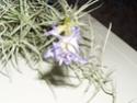 Plantes Rares et de Collection-Celles (Belgique)-printemps11 Berger10