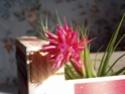 Mon geminiflora fleuri Fleur_10