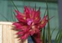 Mon geminiflora fleuri Fleur_11