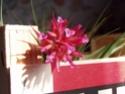 Mon geminiflora fleuri Fleur_12