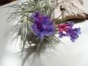 Plantes Rares et de Collection-Celles (Belgique)-printemps11 Strict10