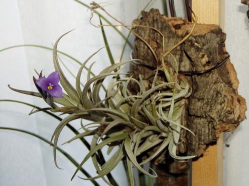 Plantes Rares et de Collection-Celles (Belgique)-printemps11 Tillal10