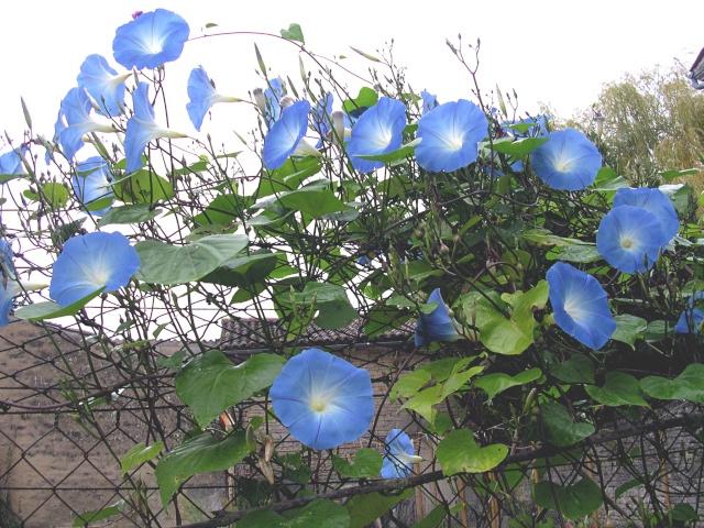 Les liserons bleus Avolul10