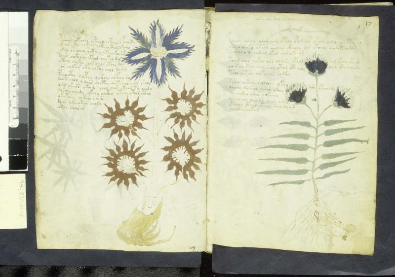 Manuscrit de Voynich F16v11