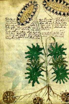 Manuscrit de Voynich Voynic10
