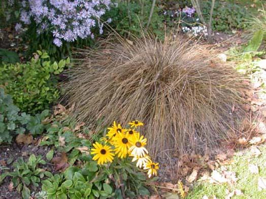 Les graminées et les carex Carex_10