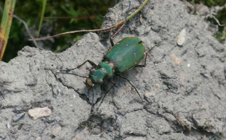 Coléoptères Cicind10