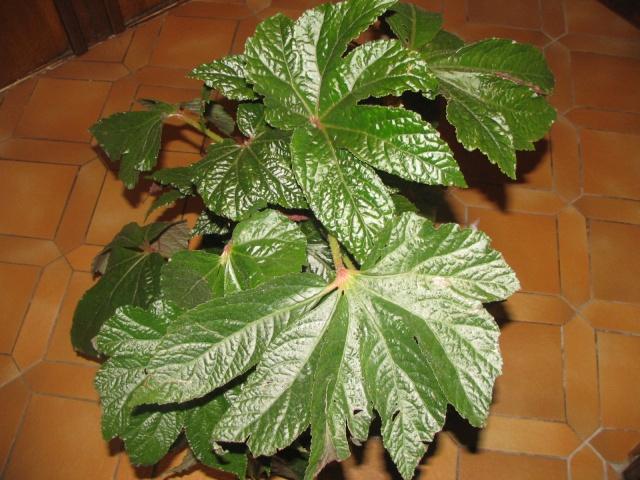 Begonia Paul Hernandez* Img_0013