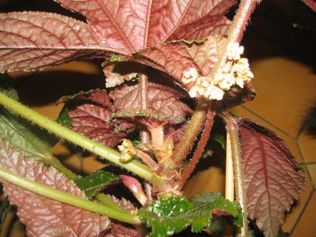 Begonia Paul Hernandez* Img_0014