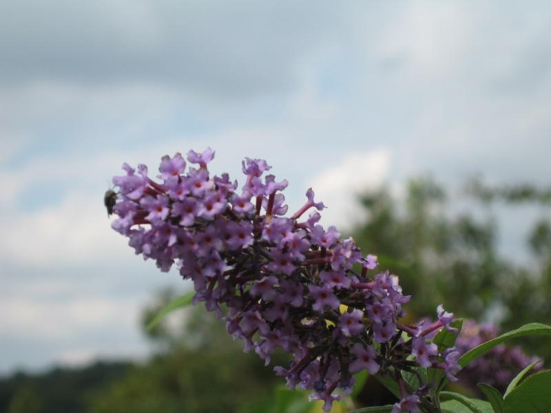 Fleurs du jardin - Page 2 Buddle12