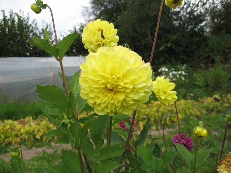Fleurs du jardin - Page 2 Dahlia10