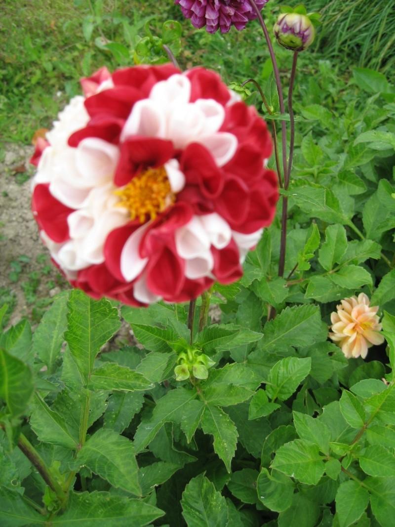 Fleurs du jardin - Page 2 Dahlia13