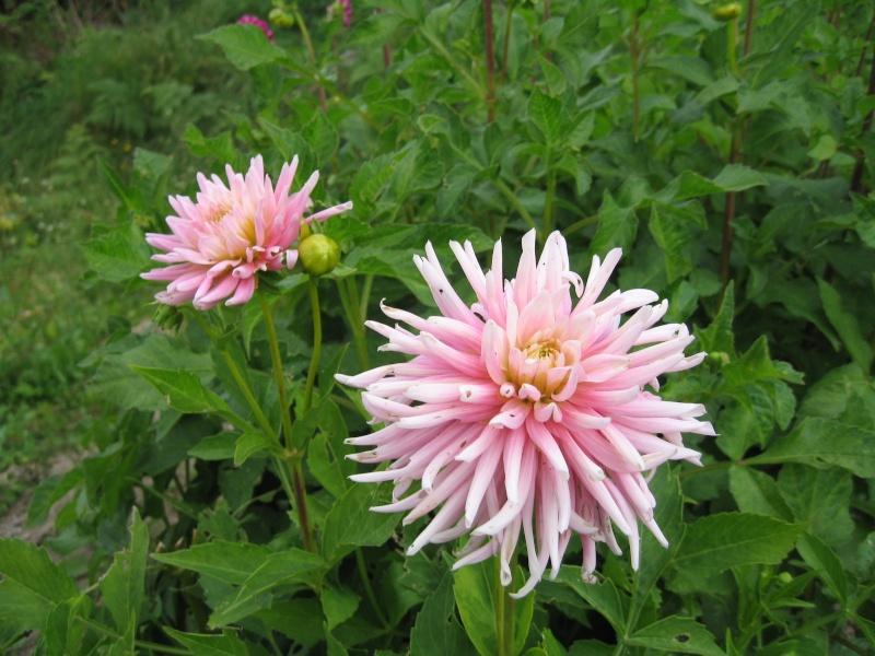 Fleurs du jardin - Page 2 Dahlia15