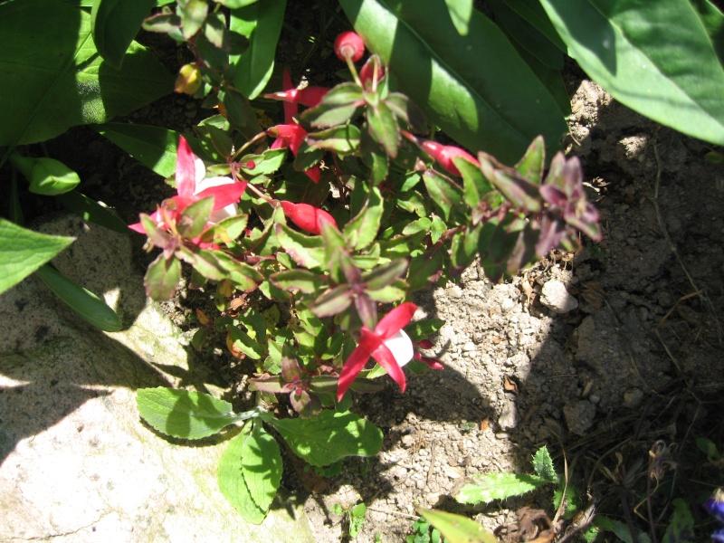 Fleurs du jardin Img_0027