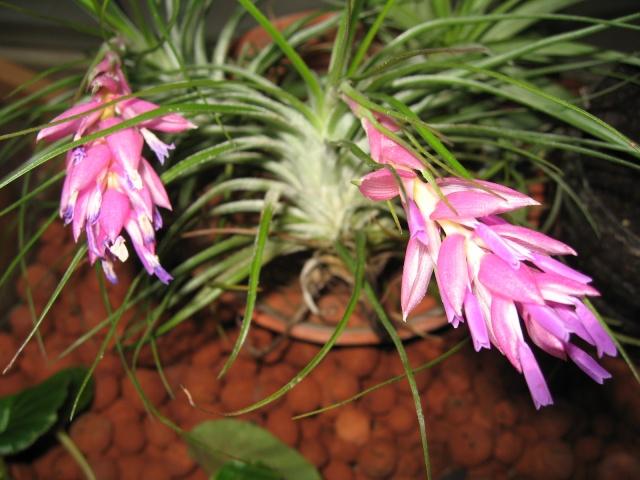 Tillandsias en fleurs Img_0040