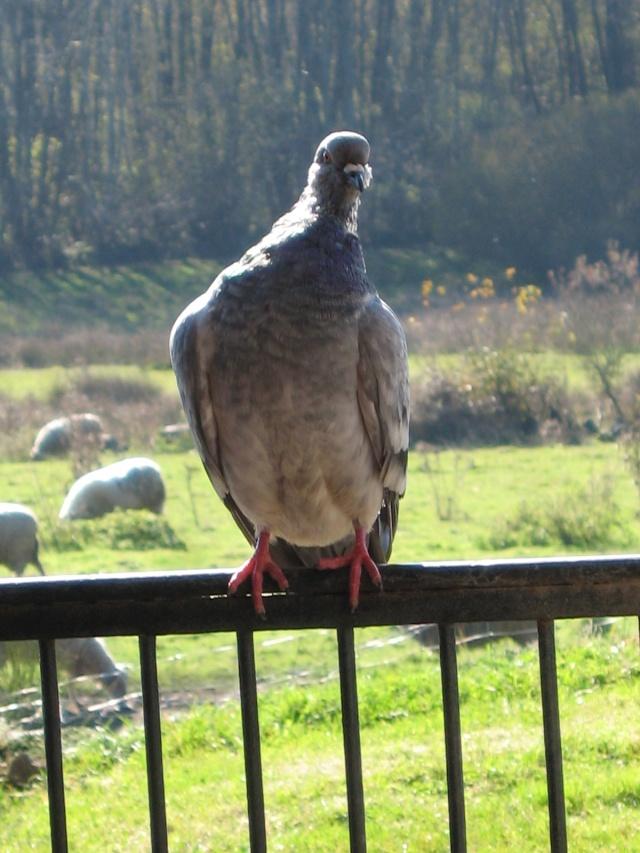 Les périples d'une pigeonne Img_0041