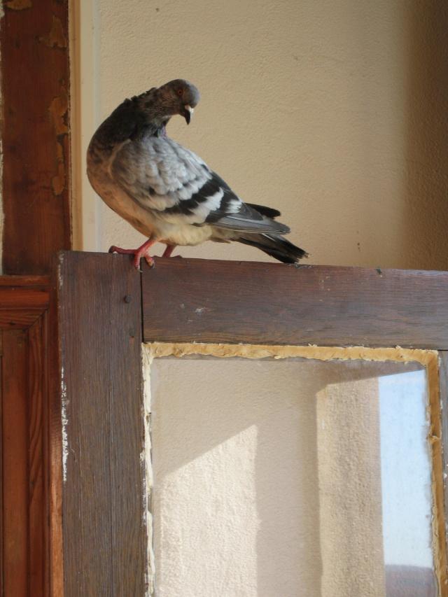 Les périples d'une pigeonne Img_0042