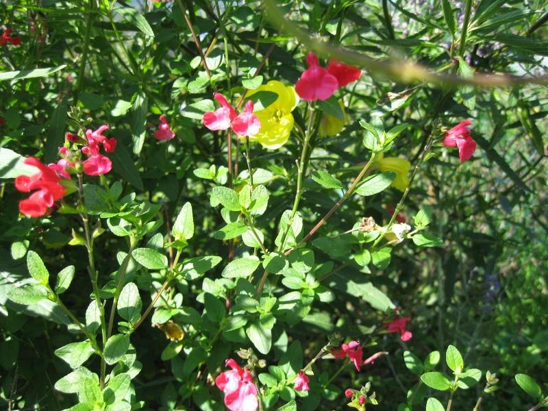 Fleurs du jardin Img_0112
