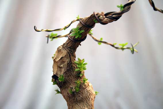 Verveine en bonsai Img_4210
