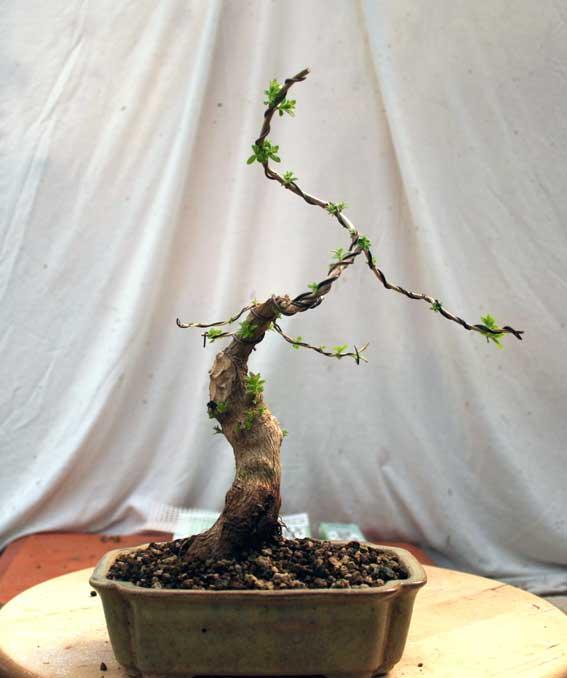 Verveine en bonsai Img_4211