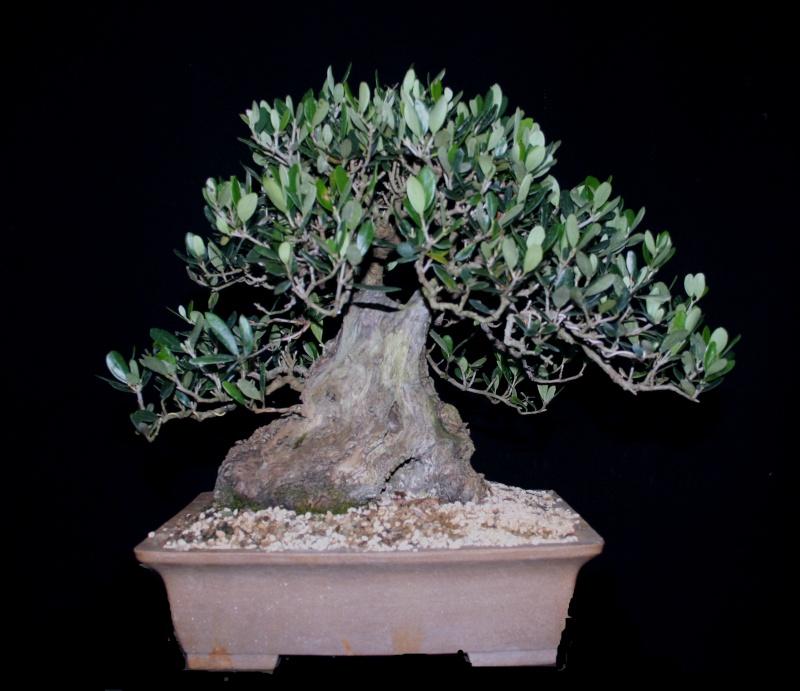 jeune plant d'olivier pour futur bonzaï Img_4214