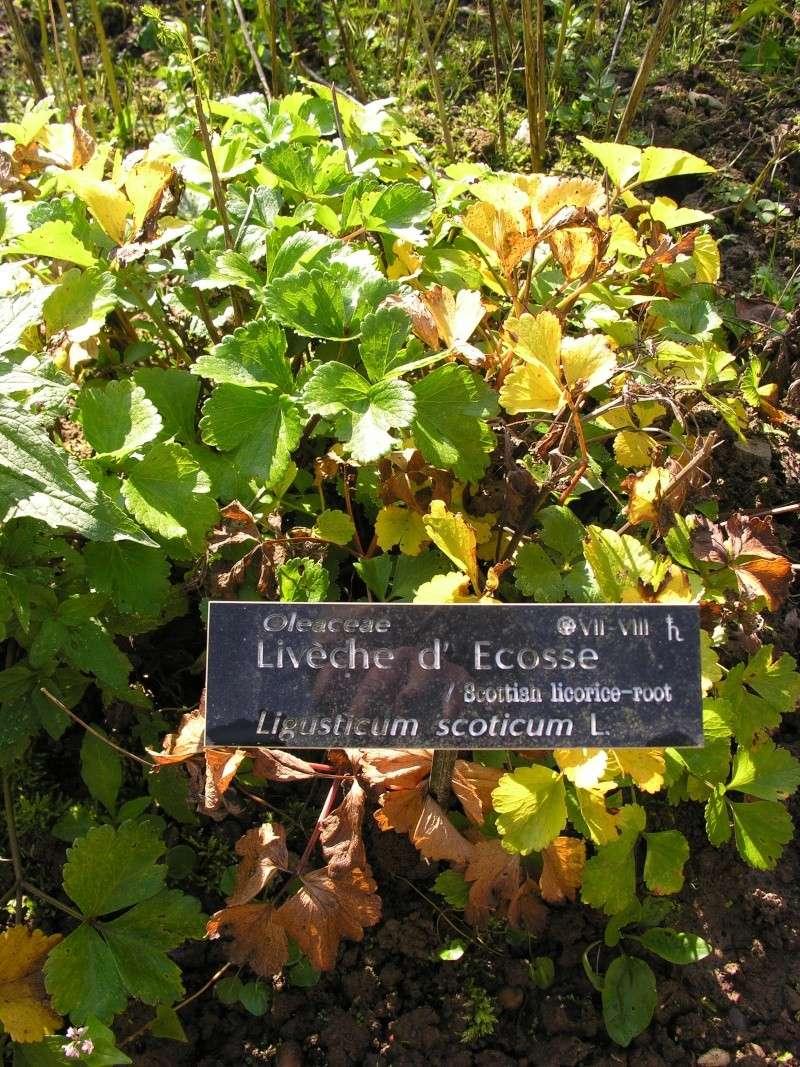 Livèche, Levisticum officinalis 07-10-23