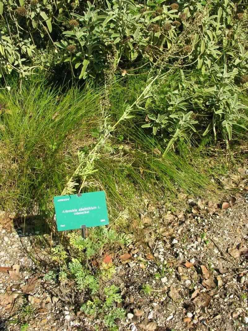 Absinthe, Artemisia absinthium 07-10-24