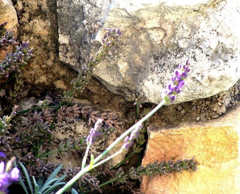 Fleurs ... tout simplement Lav10
