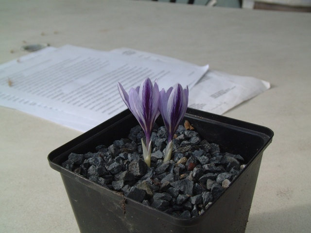 Crocus cancellatus ssp cancellatus Dscf7310
