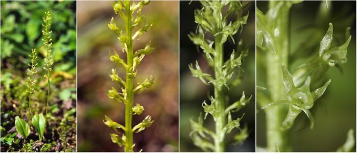 Hammarbya paludosa  ( Malaxis des marais ) Plop10