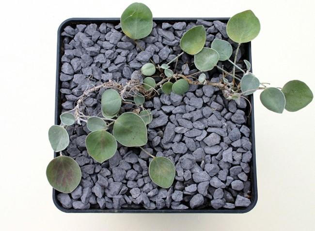 Hedysarum fedtschenkoanum Img_0911