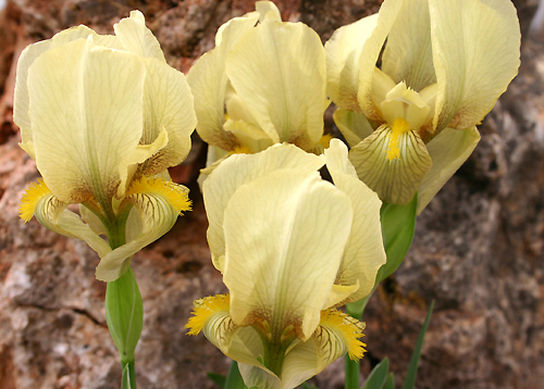 Quelques iris. Iris_a11