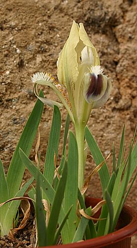 Quelques iris. Iris_p10