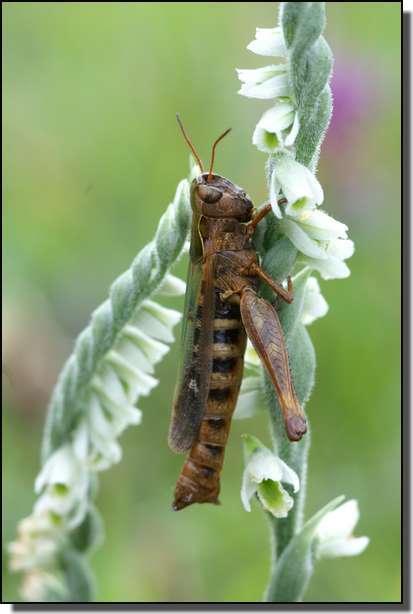 Spiranthes spiralis  ( Spiranthe d'automne ) Copie_16