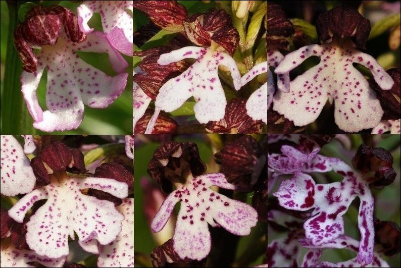 Labelles d'orchis purpurea Copie_71