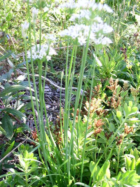 petite bulbeuse en fleur actuellement P9050112