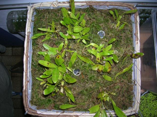 [FICHE de CULTURE] : Utricularia longifolia Dscn2910
