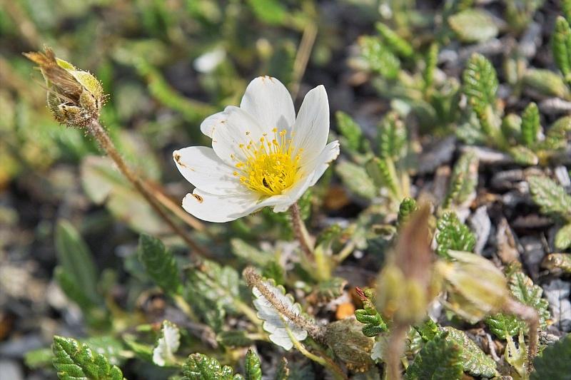 La flore en Haute Tarentaise Dryas10