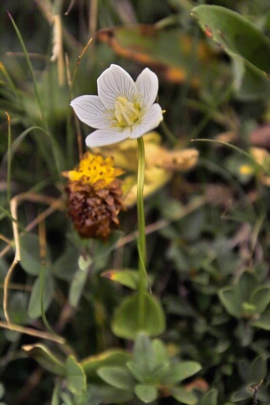 La flore en Haute Tarentaise Parnas10