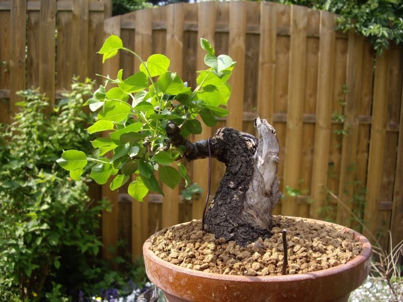 Prunus Mahaleb Imgp3021