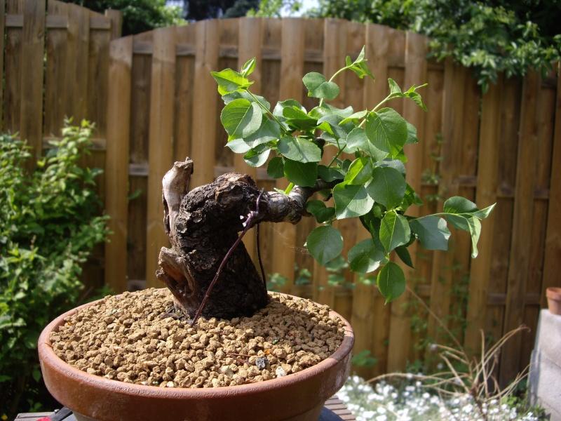 Prunus Mahaleb Imgp3023