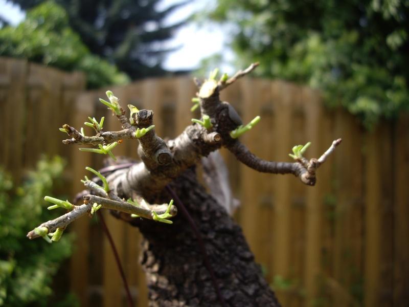 Prunus Mahaleb Imgp3026