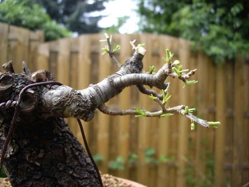 Prunus Mahaleb Imgp3027