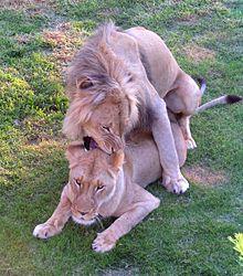 Le lion 220px-10