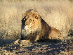 Le lion 250px-11