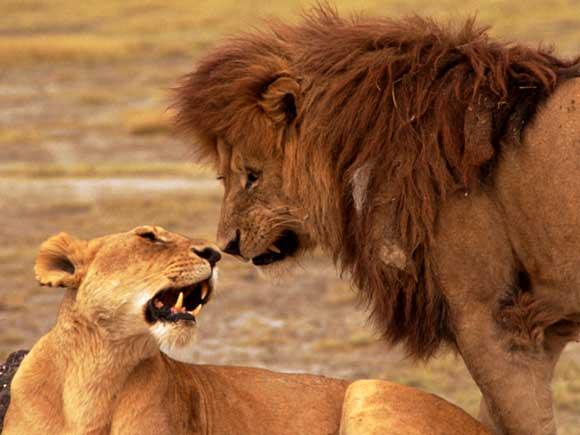 Le lion Lion_c10