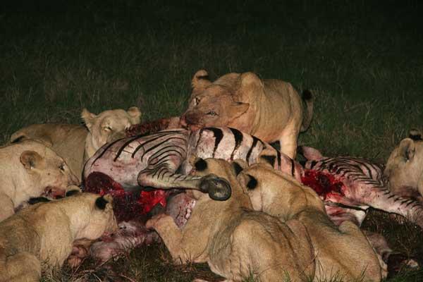 Le lion Mange10