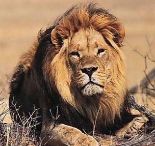 Le lion Tete10