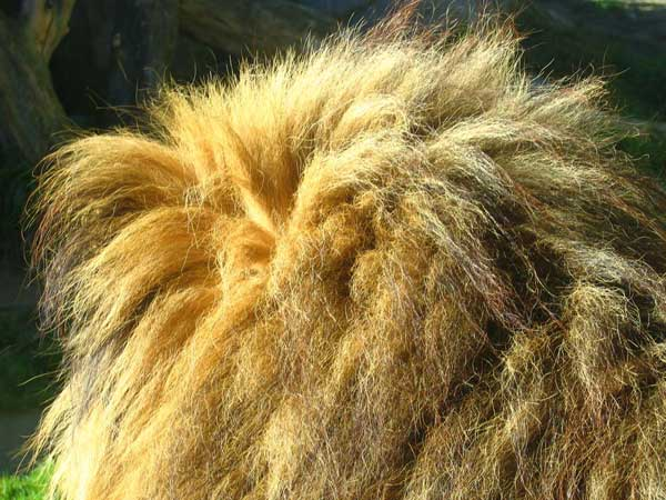 Le lion Zoom10